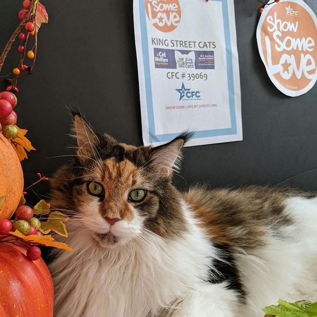 KSC volunteer Donna's beautiful Claire sends her love and best wishes to all her furry friends and WONDERFUL volunteers at King Street Cats! Have a very Happy and Healthy Thanksgiving!