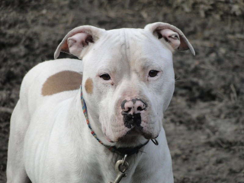 White american bulldog pitbull mix - photo#15