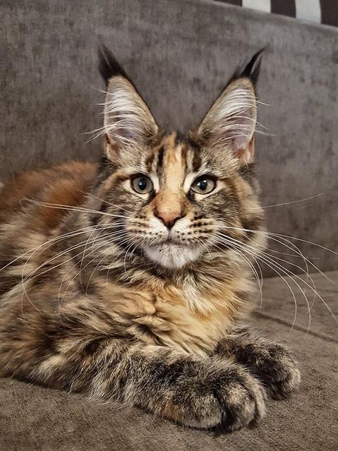 Maine Coon Rescue | Lerona, West Virginia