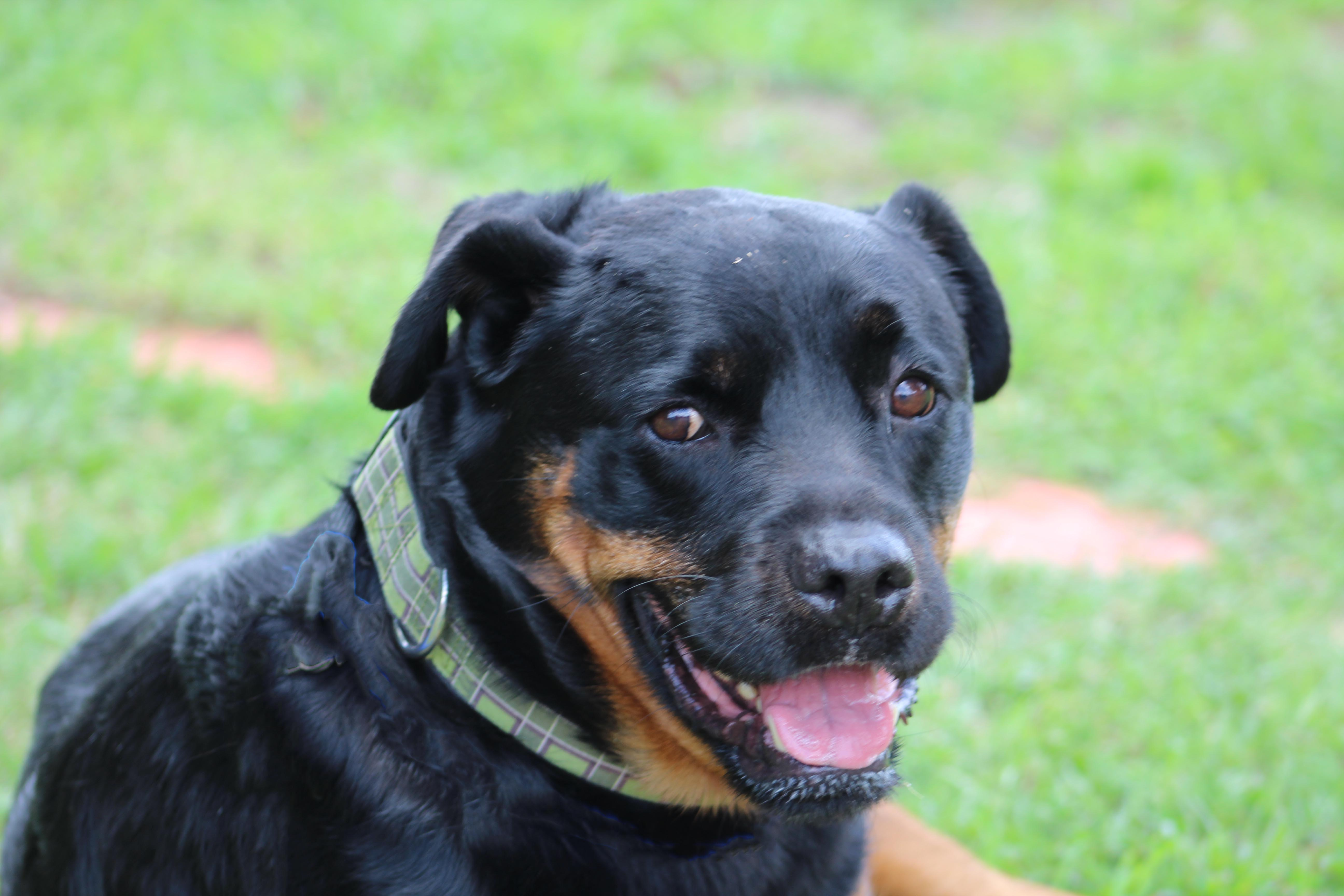 Rottweiler for adoption in tennessee