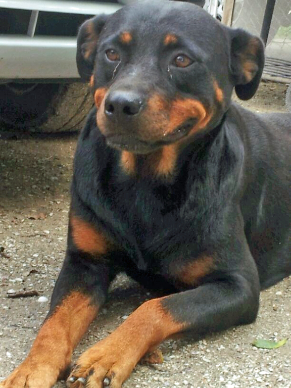 Special Needs Rottweiler Adoptions