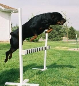 rottie-jump