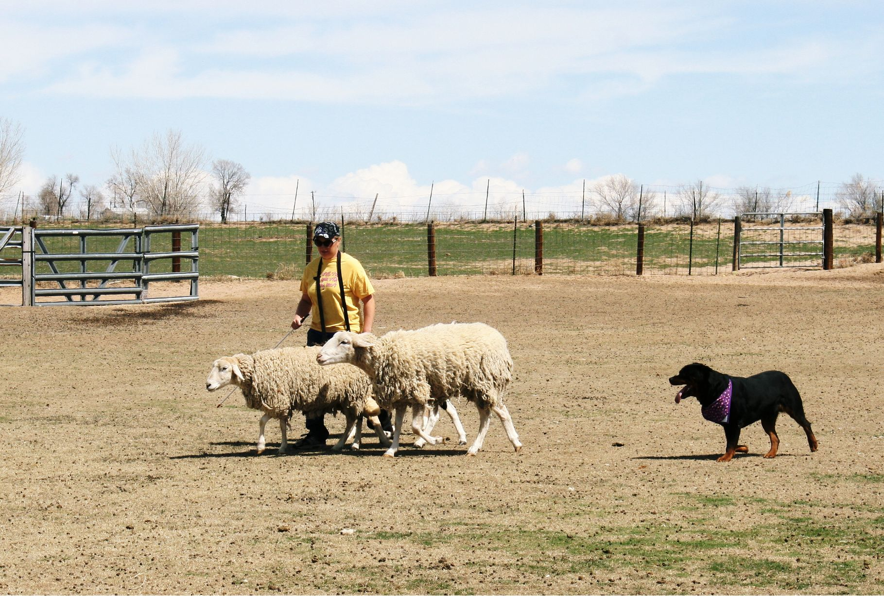 kong-herding