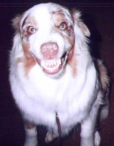 smiling australian shepherd