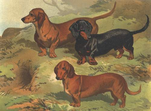 1800 Doxie 2