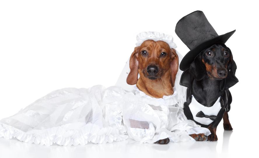 doxie wedding