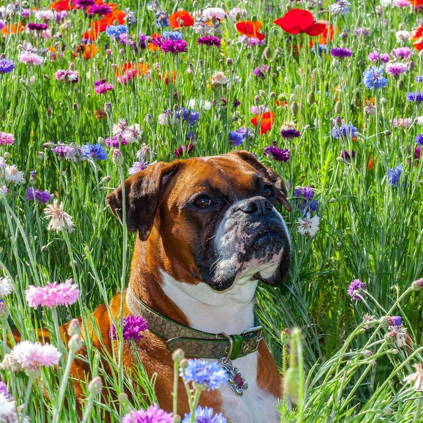 boxer in flowers