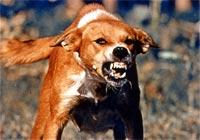 rabiddog
