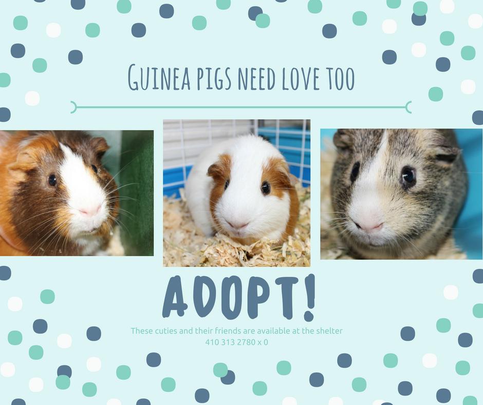 Guinea Pig Promo 2017