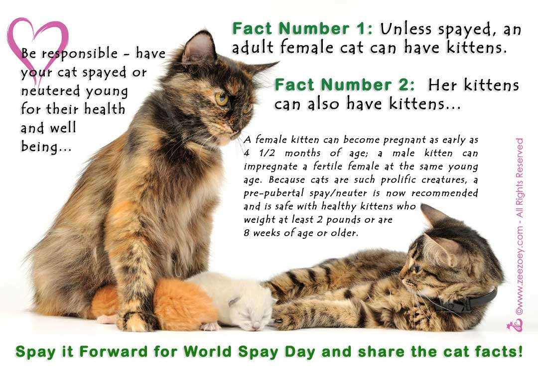 how much does it cost to get a kitten spayed