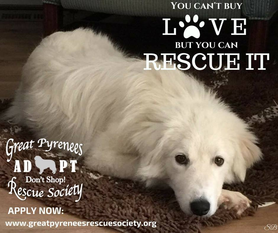Arizona great pyrenees rescue