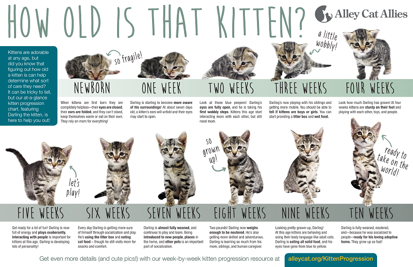 How Old is Kitten Chart