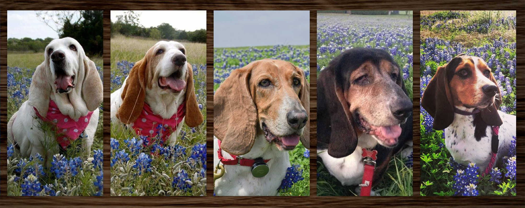 Helping Hands Basset Rescue - Support Us