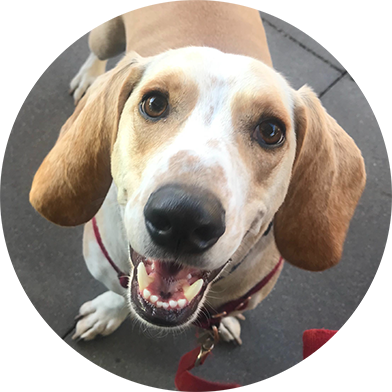 Adopt from Helping Hands Basset Rescue