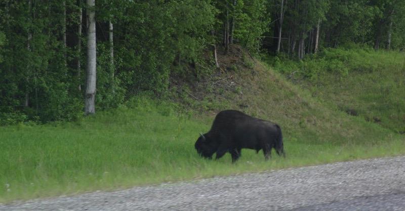 BC Bison