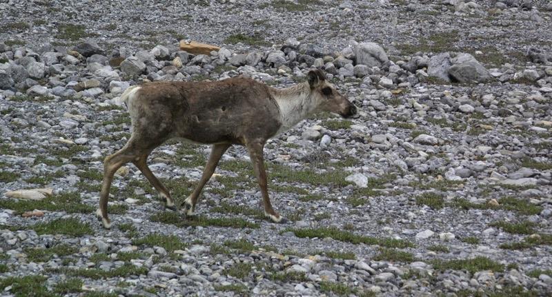 BC Moose in Road