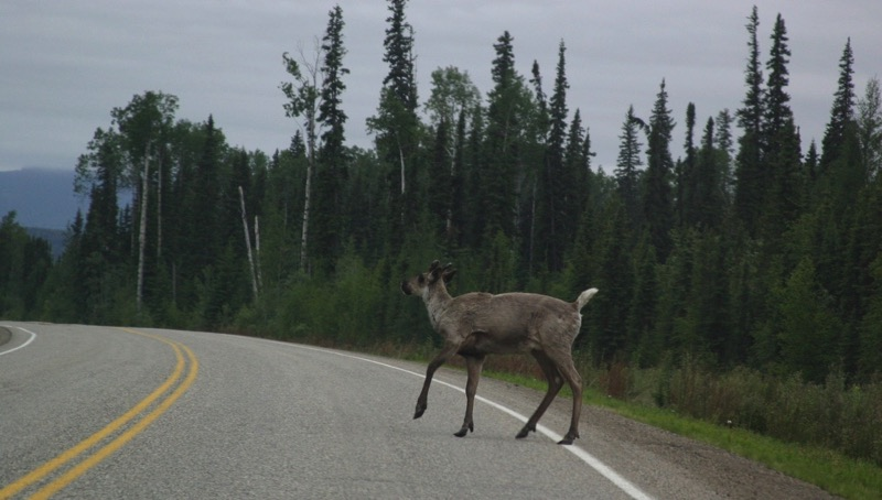 BC Moose in the Road