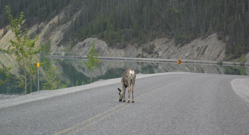 YT Moose in Road