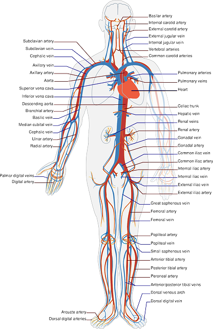Preschool human body activities and lessons - the Circulatory system