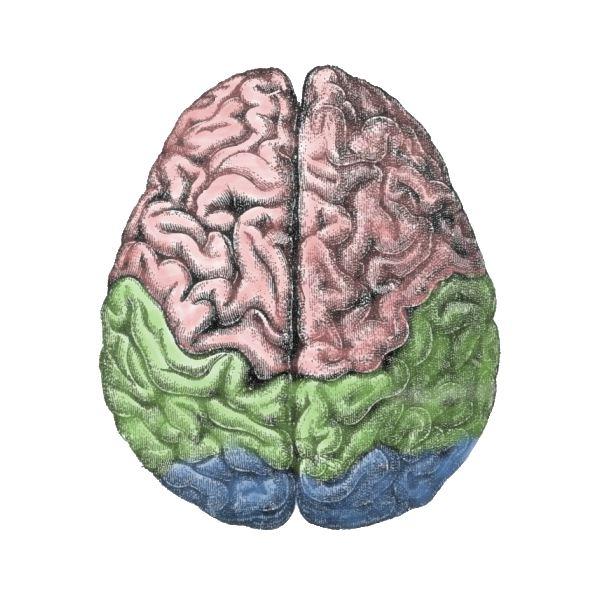 Organs of the body - Brain