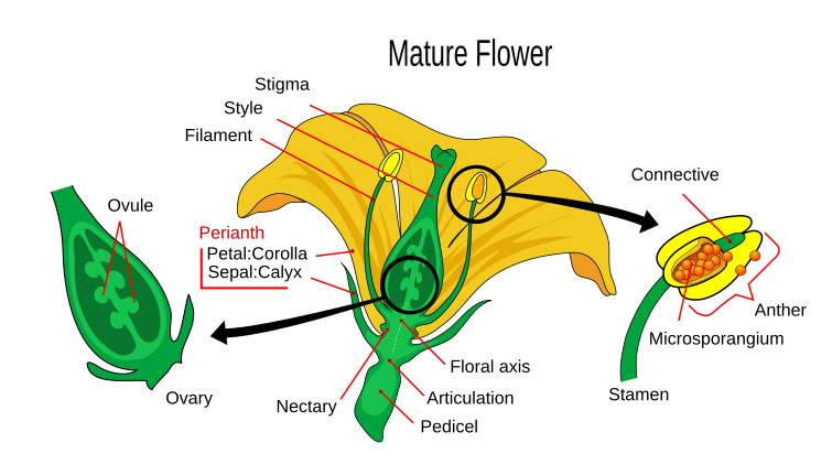 Female reproductive parts of a flower