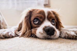 dog lying on a carpet