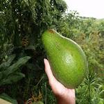 Avocado Festival 2018