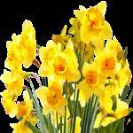 Camden Daffodil Festival and Garden Tours 2020