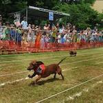 Dachshund Wiener Dog Races 2020