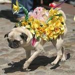 Daffodil Festival 2017