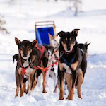 Dog Sled Races and Winter Festival 2020