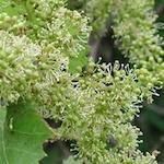 Fete de FleursThe Flowering of the Vines 2021
