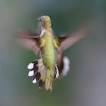 Hummingbird Festival 2017