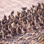 Kachemak Bay Shorebird Festival 2020