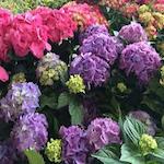 Piedmont Plant & Flower Festival 2017