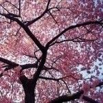 RI Cherry Blossom Festival 2017