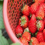 Strawberry Short Course Festival 2019