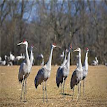Tennessee Sandhill Crane Viewing Festival 2020