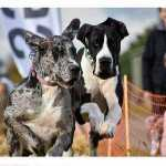The Weald Park Festivals of Dogs 2020