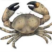 Granchio Torta  --  Crab Cakes
