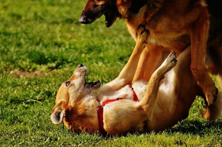 Image of dog fight in the park.