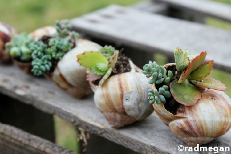 succulent shell