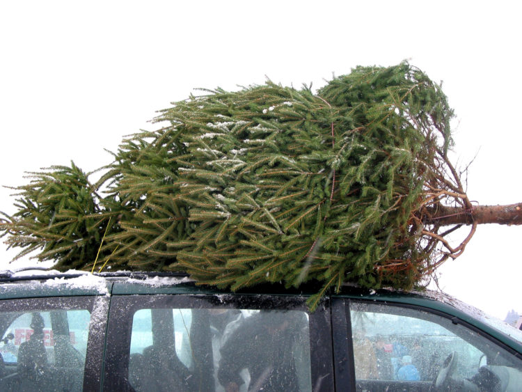 Image of Huge Christmas tree tied to the roof on a minivan