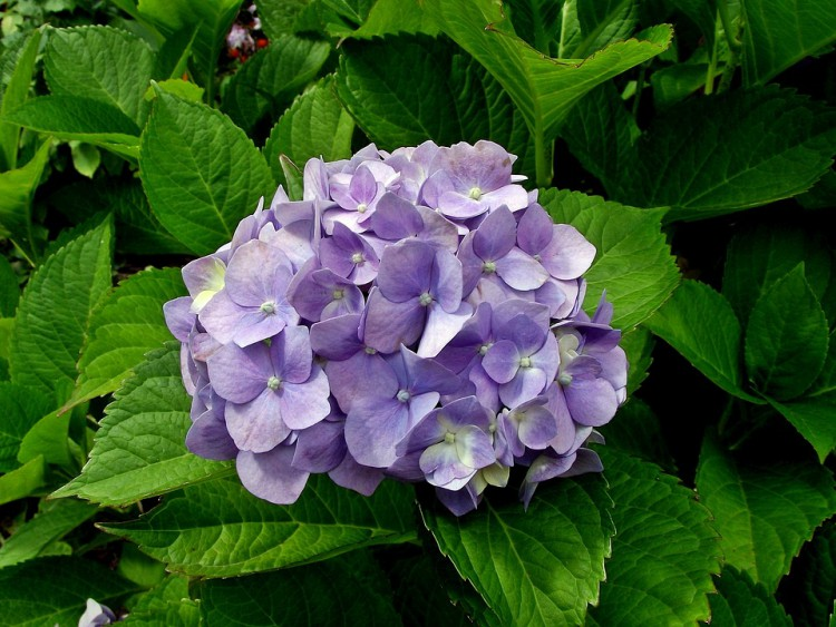 Image of a hydrangea
