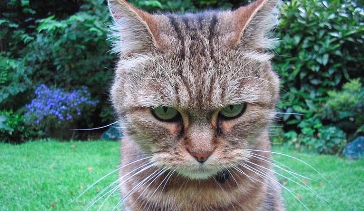 angry cat stares at camera