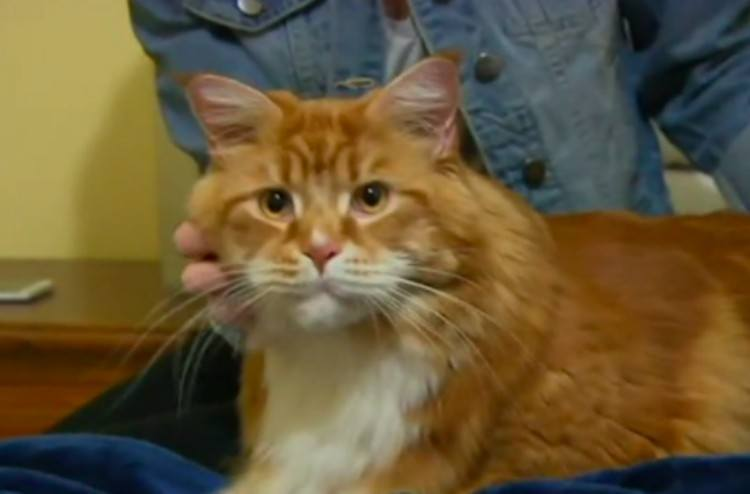 This Real Life Garfield Could Be One Of The Biggest Cats In The World