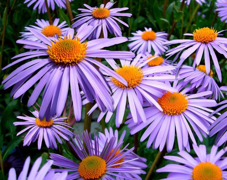 Image of Aster flower.