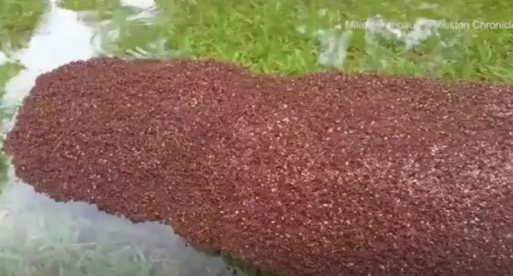 Clump of fire ants.