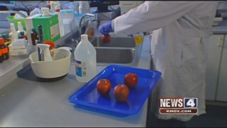 Four apples being prepped for lab testing