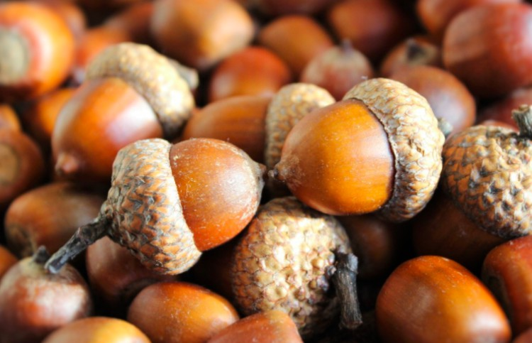 superstition acorn